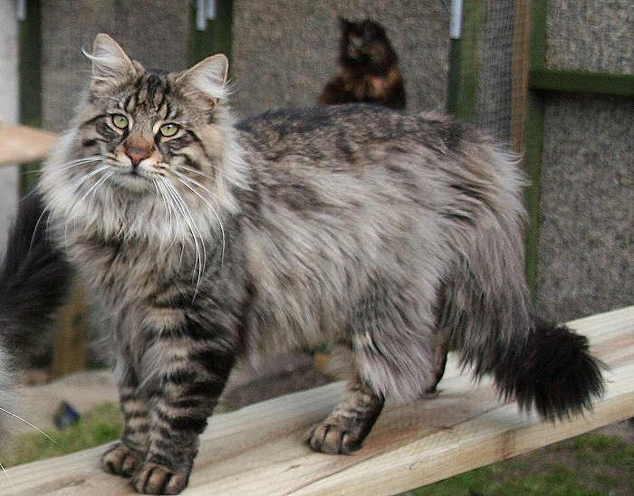 Cat Breeds | lunacremus | Stranica 16